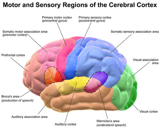 Sensory-Cortex